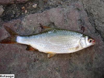 Rotauge angeln auf pl tze und schwal am fluss teich und for Fischarten teich