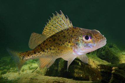 Kaulbarsch angeln auf kaulbarsch und rotzbarsch am fluss for Teichfische arten